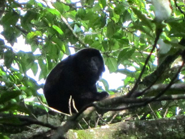 Howler monkeys at our hotel